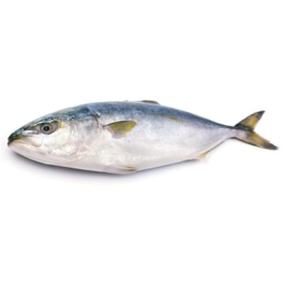 supplier ikan hamachi